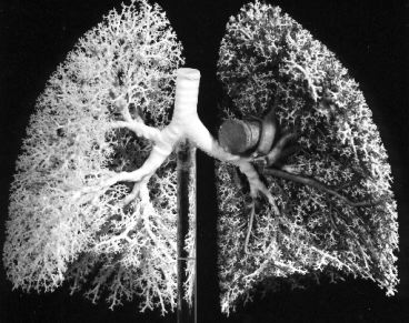 Respiratory system this photo courtesy of the anatomical institute bern shows a rubber cast of human lungs ccuart Images