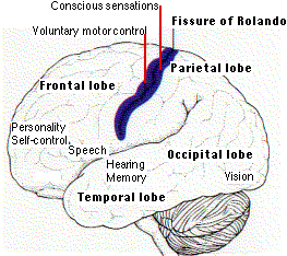 The central nervous system the cerebral hemispheres ccuart Image collections