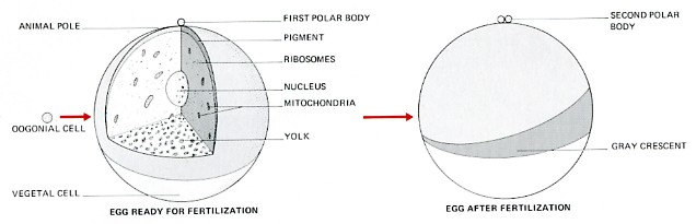 Frog Embryology