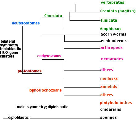 PROTOSTOME - Definiția și sinonimele protostome în dicționarul Engleză
