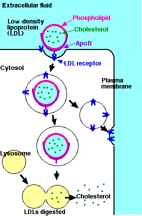 endocytosis example - photo #10