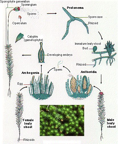 Mosses and Live... Xylem Cell Diagram