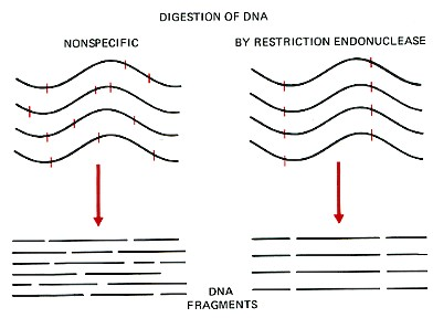 restriction enzymes