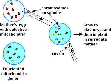 Sexual reproduction in humans chart