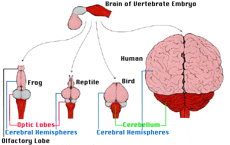 The central nervous system the brain of all vertebrates develops from three swellings at the anterior end of the neural tube of the embryo from front to back these develop into the ccuart Images