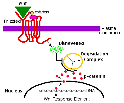 steroid hormone receptor action